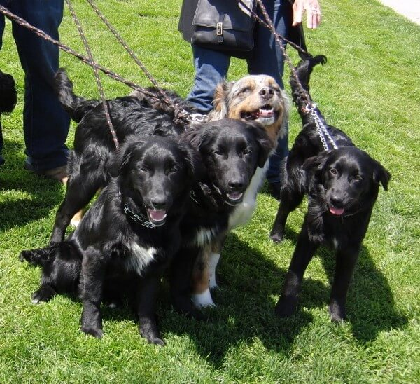 Australian-Retriever-Dogs