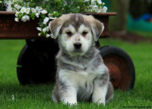 Golden Retriever Husky Mix Goberian Puppies