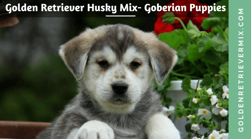 Golden Retriever Husky Mix – Goberian Puppies
