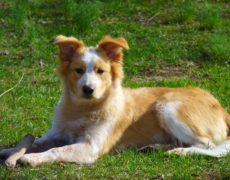 Border-Collie-Golden-Retriever-Mix Breed