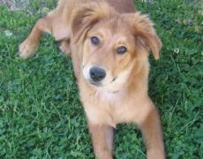 Collie-Golden-Retriever-Mix