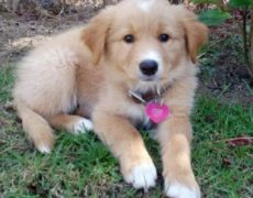 Golden-Retriever-Border-Collie-Mix-Puppies