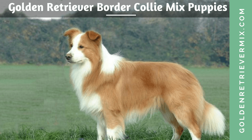 Golden Retriever Border Collie Mix Puppies