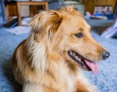 Golden-Retriever-and-Border-Collie