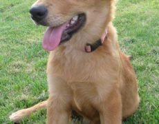 Golden-Retriever-and-Collie-Mix