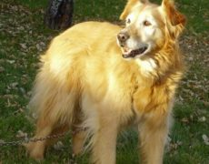 golden border retrievers dog