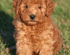 Goldendoodle Hybrid Puppies